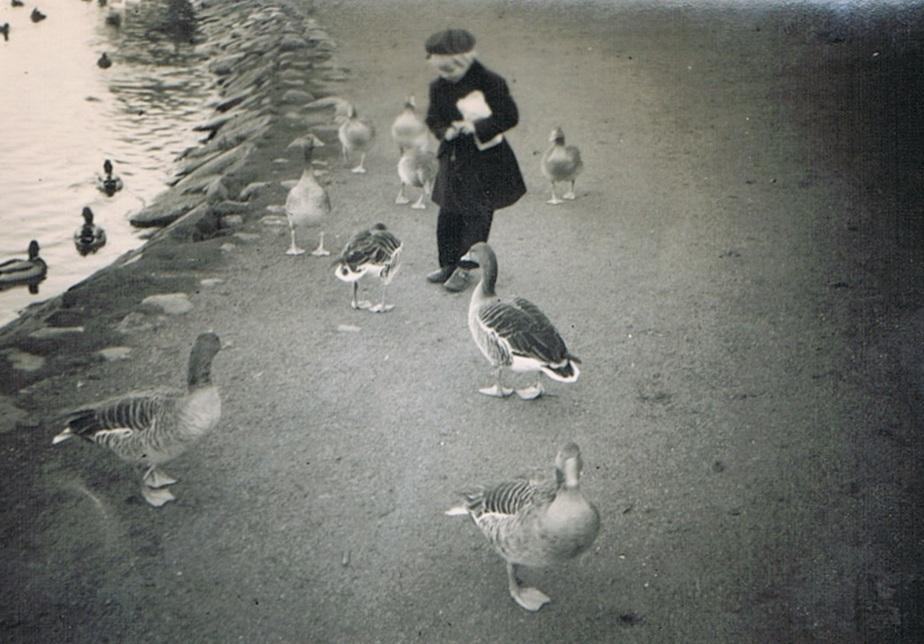 Ænderne fodres ved Slotssøen i Kolding